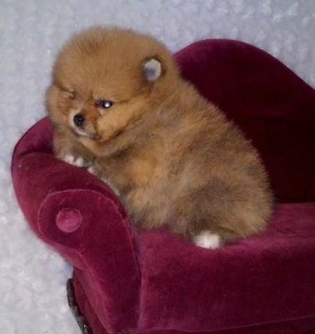 teddy bear pomeranian prices one litter 4 amazing akc pomeranian puppies w teddy bear 6964