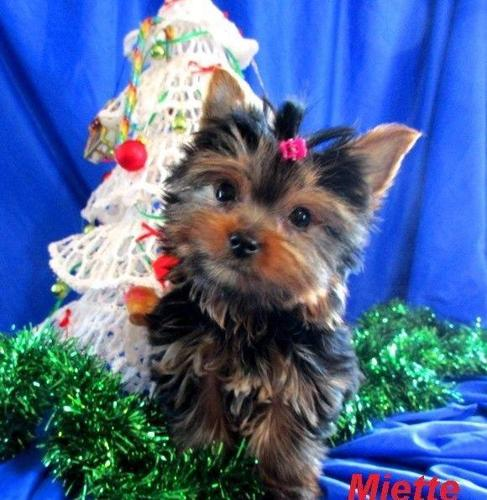 One Teeny Tiny Teacup Yorkie Girl Puppy Delivery Possible For Sale