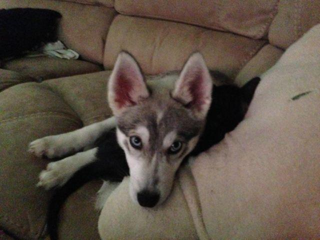 One year old Alaskan Klee Kai (aka Mini Husky for sale in Dayton, Ohio