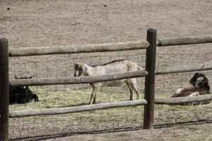 One year old buck - $100 (Elizabeth)