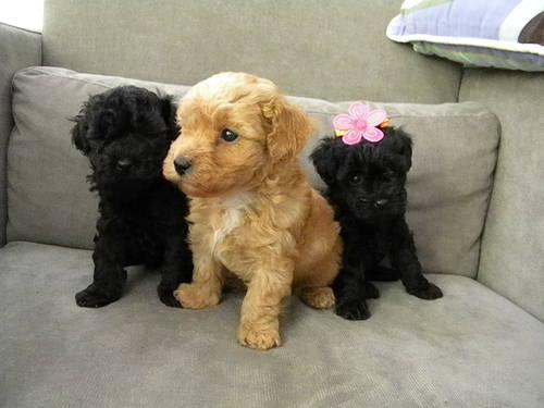 ONLY 1 LEFT!! AKC Toy Poodle Puppies,1 BLK F, 2 BLK M,1 ...