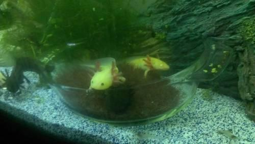 Only 3 Juvenile Axolotls Left For Sale In El Paso Texas