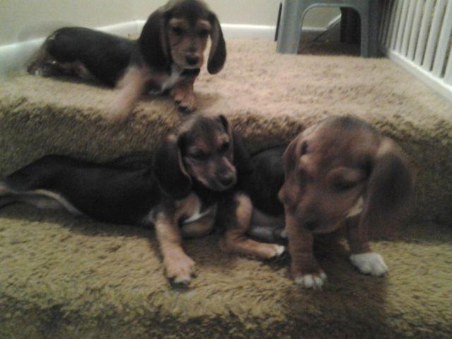 Dogs For Sale Wooster Ohio