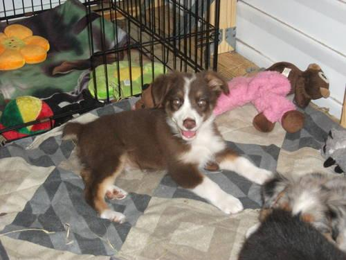 ONLY 350-red tri minature australian shepherd female
