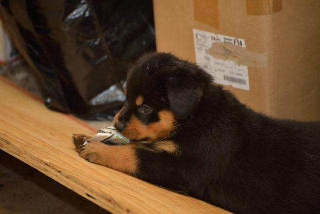 Rottweiler puppies for sale in san antonio texas