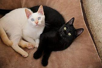 Onyx and Allie Bonded Pair! Siamese Male