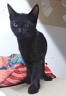 ONYX Domestic Shorthair Young Male