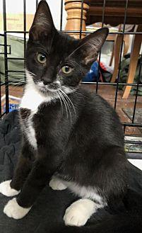 Oona Domestic Shorthair Kitten Female