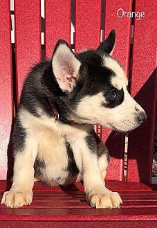 Orange Girl Siberian Husky Puppy Female For Sale In Zanesville Ohio