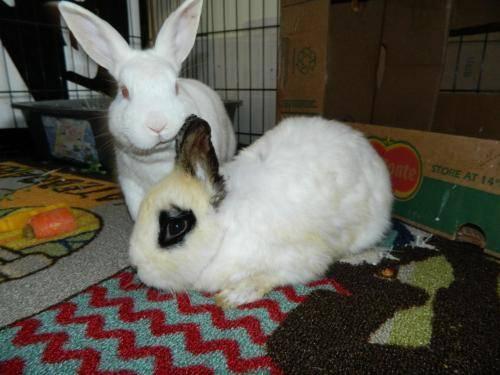 Wanted: Orange Netherland Dwarf Rabbit for Sale in Bethel ...