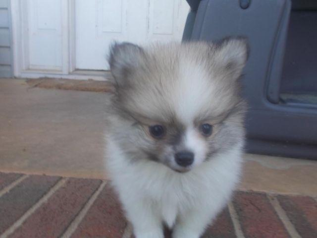 pomeranian for sale in sc orange sable male pomeranian puppies 9 weeks old for 6937