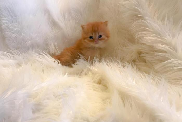 Orange Tiger Persian Kitten for Sale in Cleveland, Ohio ...
