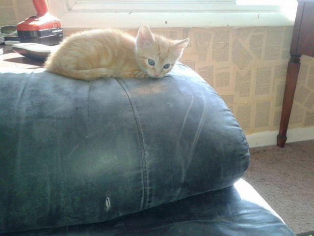 Orange Tiger Striped Part Siamese 8 Week Kittens For