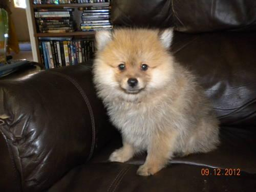 Orange Sable Male Pomeranian Pup for Sale in Beaufort, South Carolina