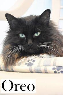 Oreo Domestic Longhair Senior Female