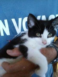 Oreo Domestic Mediumhair Kitten Male
