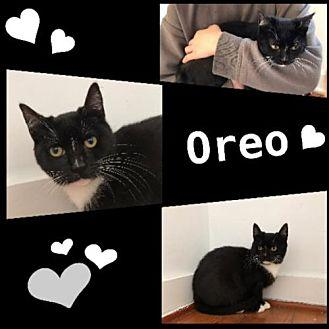 Oreo Domestic Shorthair Kitten Male