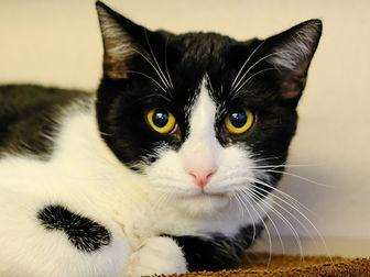 OREO Domestic Shorthair Young Male