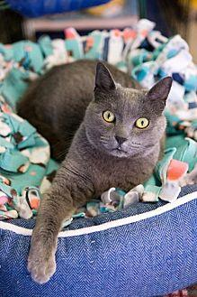 Ororo Russian Blue Adult Female