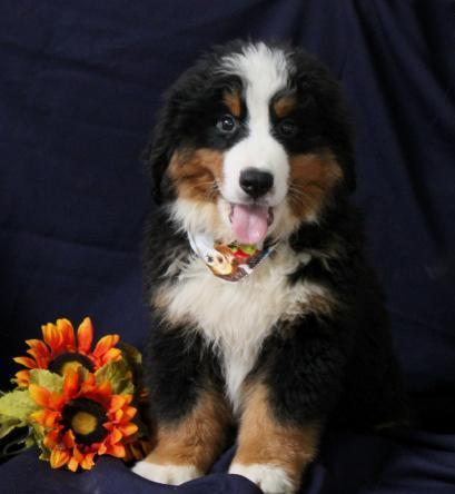 Oscar Bernese Mountain Dog Puppy For Sale For Sale In
