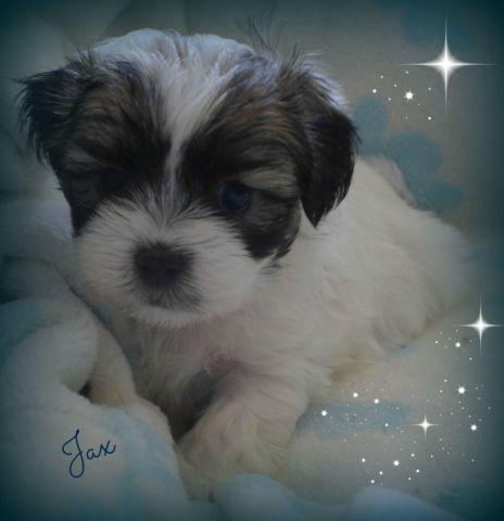 Our Adorable 3/4 Maltese (Malshi) Puppy~Ready to go for