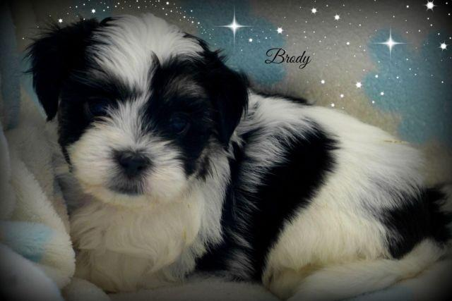 Our Awesome 3/4 Maltese (Malshi) Puppy~Just in time for