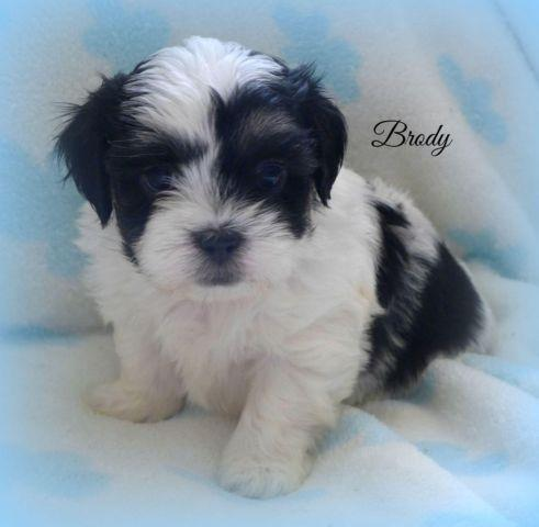 Our Awesome Maltese Shihtzu Puppy~So Adorable!~