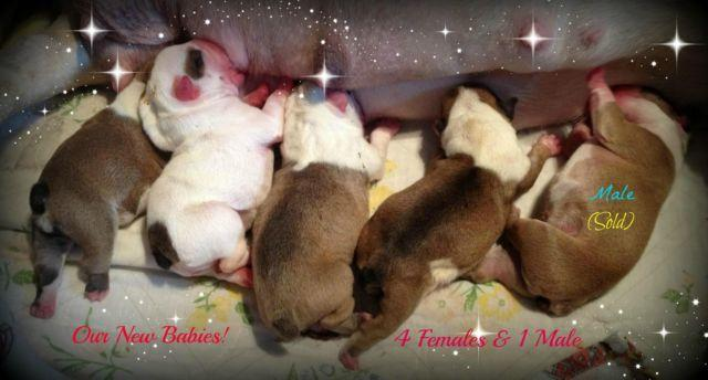 Our New Babies~English Bulldog Puppies!