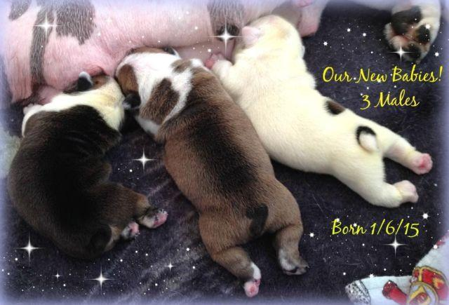 Our New Babies! Exceptional AKC Males~Carries Blue and