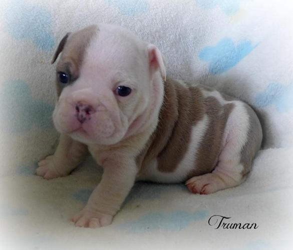 Our New Babiesquality Akc English Bulldog Puppiestriple