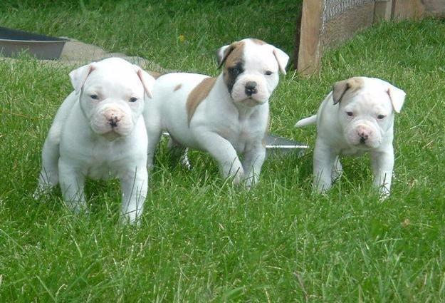 Outstanding American Bulldog Pups Available for Sale in ...