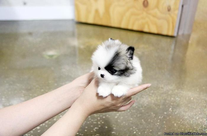 Teacup Pomeranian Puppies For Adoption:(401) 684-4819 for Sale ...