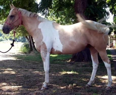 Paint/Pinto - Rambo Renegade - Large - Adult - Male - Horse