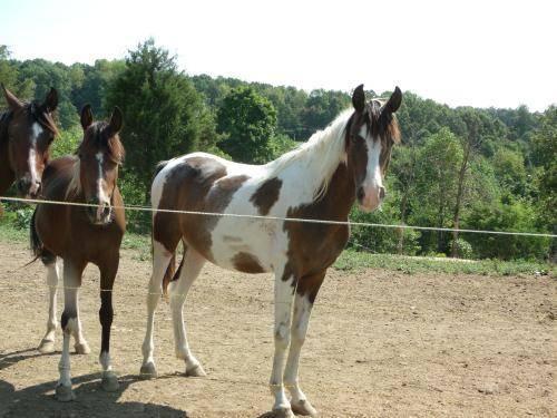Paint/Pinto - Toby - Medium - Adult - Male - Horse