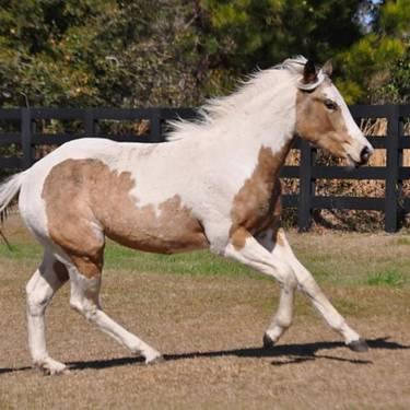 Paint/Pinto - Venus - Medium - Baby - Female - Horse