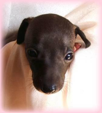 Panache Seal Female Italian Greyhound Pup Rtg Dec
