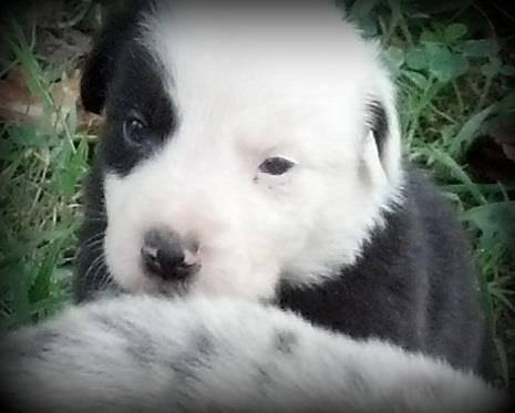 Panda- Black and white border collie male-split face