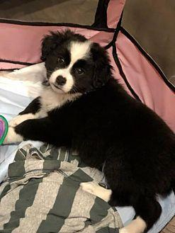 Panda Border Collie Puppy
