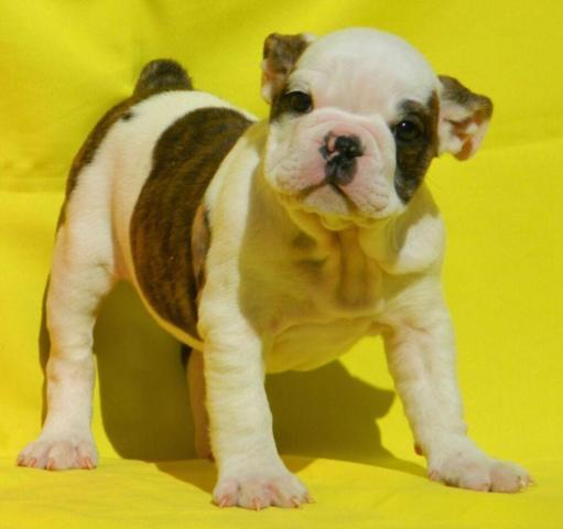 Pandora - Champion English Bulldog Puppy