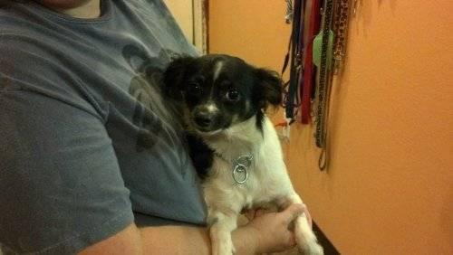 Papillon - Pepe' - Small - Adult - Male - Dog