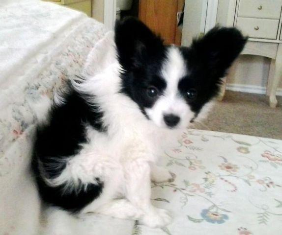 Papillon Puppy Available Now For