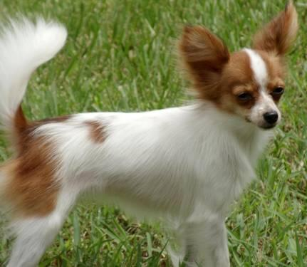 PAPILLON puppy, Female, Tiny Toy, Very Small
