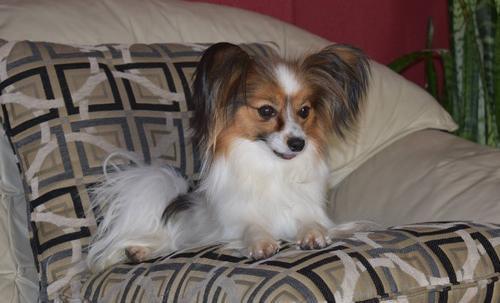 Papillon Puppy For Sale Adoption Rescue For Sale In Colorado