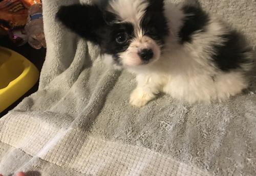 Papillon Puppy for Sale - Adoption, Rescue