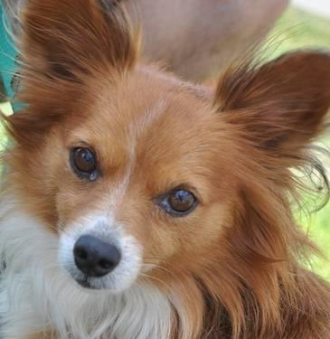 Papillon Skipper Small Adult Male Dog For Sale In