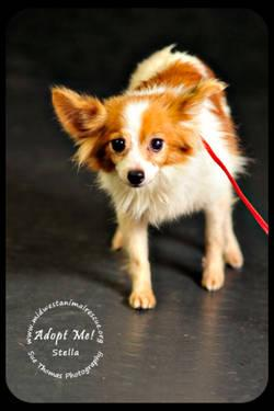 Papillon - Stella - Small - Adult - Female - Dog
