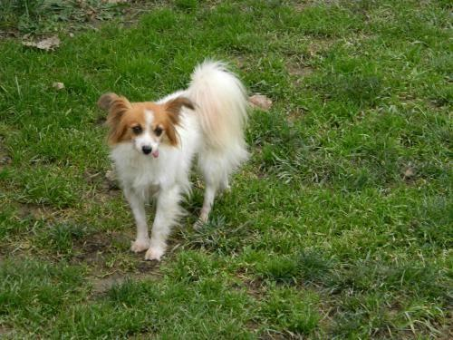 Papillon trudy needs love and understanding small for Papillon new york