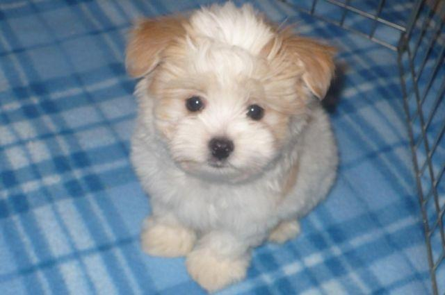 Papitese Puppies Papillon Maltese For Sale In Tucson
