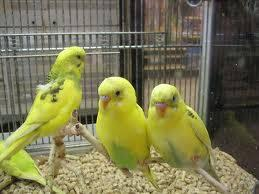 Parakeet (Other) - Parakeets - Small - Adult - Female -