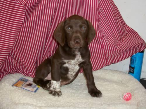 Parents Are Outsanding Hunters Male German Wirehairelab Includes A